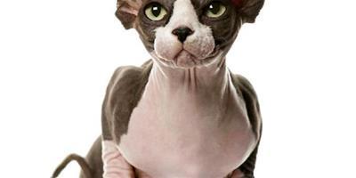 加拿大無毛貓的繁殖知識介紹