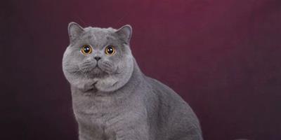 英國短毛貓怎麼挑選純種的
