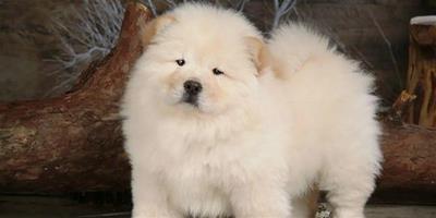 金毛犬感冒有什麼症狀?怎麼治療?
