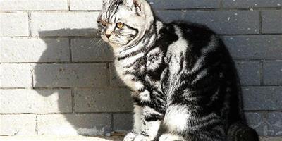 虎斑貓的斑紋介紹,虎斑貓為什麼有這麼多斑紋