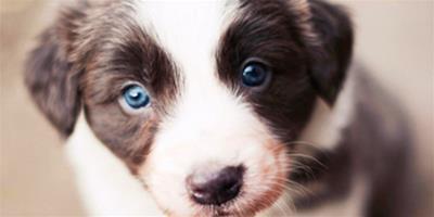 寵物狗食物中毒的處理