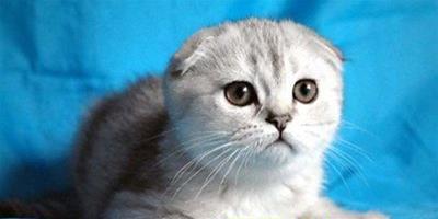 蘇格蘭折耳貓挑選方法