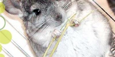 龍貓吃零食要不要控制