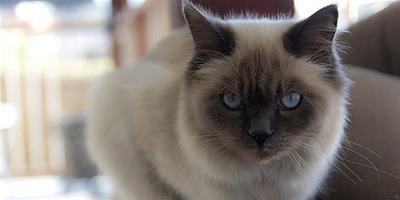 伯曼貓好養麼?