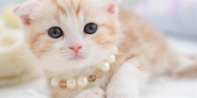 適合老人飼養的貓:折耳貓