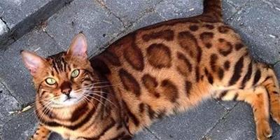 用心感受下,這只孟加拉貓已經帥出了天際!