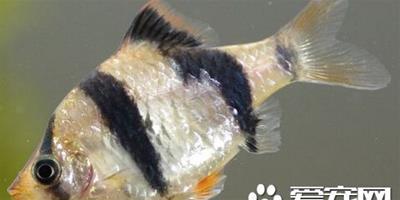 虎皮魚的養殖方法 虎皮魚養殖方法詳解