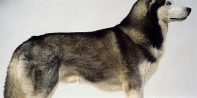 寵物狗哈士奇的飼養方法