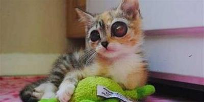 貓咪因天生大眼睛被主人帶回家,但隨後主人又因為眼睛將它遺棄