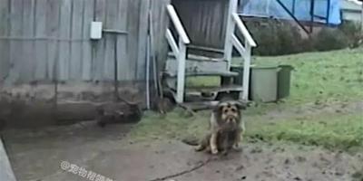 這只狗被鐵鏈囚禁10年,獲救後第一次睡在屋內的眼神讓人好心酸!