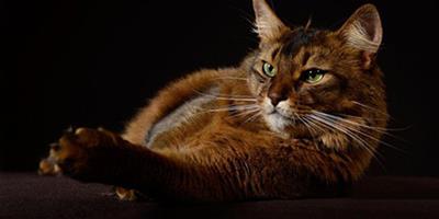 索馬里貓長成什麼樣?