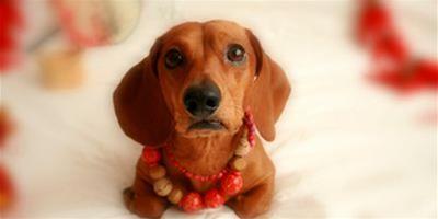 臘腸犬也可以美美噠