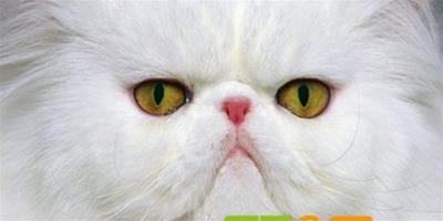 貓咪能吃巧克力嗎?貓咪吃巧克力好不好?