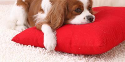 狗狗吃東西不咀嚼怎麼辦