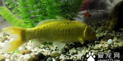 魚外用藥 魚使用硫酸銅外用藥的使用方法