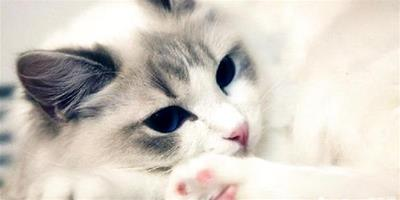 布偶貓飼養注意事項,布偶貓怎麼養好