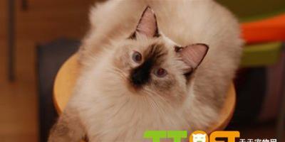 貓癬症狀和常見治療方法