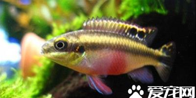 紅肚鳳凰魚的繁殖 繁殖期的水質中性或微鹼性