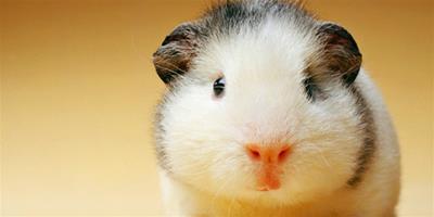素食主義的寵物 萌趣豚鼠如何飼養