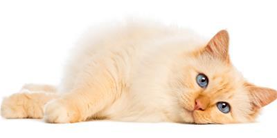教你如何戰勝曼島無尾貓的過敏