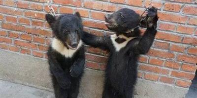 他們潛入馬戲團訓練營發現小黑熊被鐵鏈鎖頭拴在牆邊,而背後原因讓人怒火沖天!