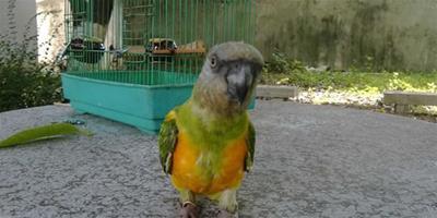 塞內加爾鸚鵡的飼養 十分適合在家庭飼養