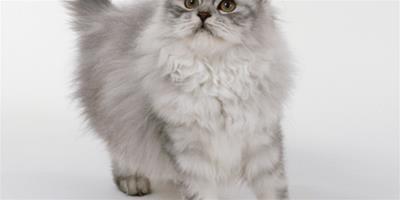 訓練波斯貓改掉抓傢俱的方法