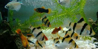 虎皮魚如何飼養 喜好高溫高氧的熱帶魚