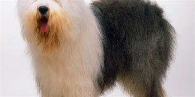 古代牧羊犬的選購指南有何高見