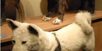 東京涉穀博物館舉辦忠犬八公誕辰90周年紀念展