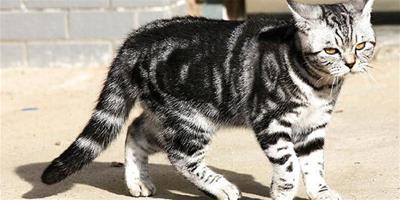 虎斑貓圖片,虎斑貓有什麼特點