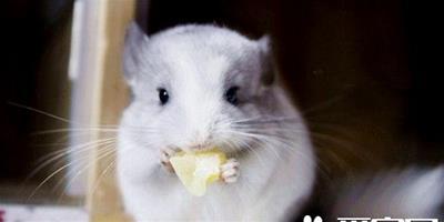 維生素C對龍貓有哪些作用 維生素C是極易流失的