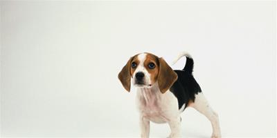 選購比格犬須知,比格犬的標準體型