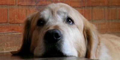 科學發現:寵物狗能夠對哭泣的人表現出同情心