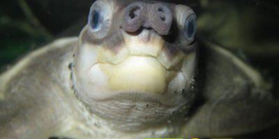 養好豬鼻龜的方法寶典