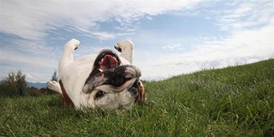 為狗狗除跳蚤的方法