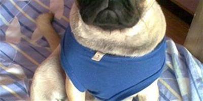 2個月八哥犬一天吃幾次?一頓吃多少?