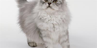 貓咪心力衰竭的發病機理及症狀