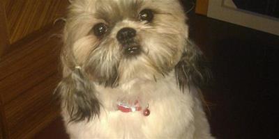 西施犬的食療護理