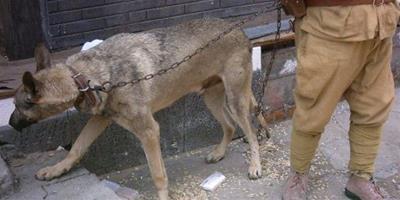 高加索犬出現食糞症行為的原因有哪些