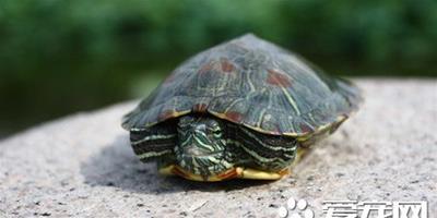 烏龜怎麼餵食 投喂的食物要求必須是新鮮的