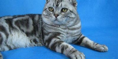 蘇格蘭折耳貓檔案資料