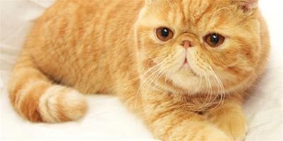 綽號為加菲貓的異國短毛貓
