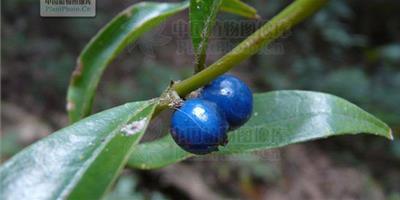 藍色果實的植物有哪些(圖片)