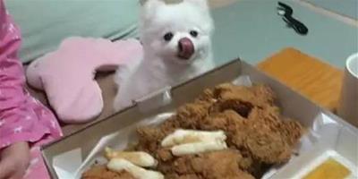 主人當著小博美的面吃完一整盒炸雞,最後小狗的表情說明瞭一切!