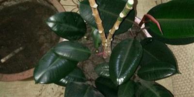 橡皮樹什麼季節修剪
