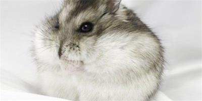 倉鼠籠子怎麼挑選,如何選購倉鼠籠子?