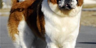 聖伯納犬產後護理方法