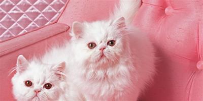 讓波斯貓毛髮更健康的方法
