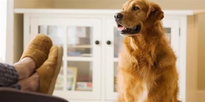 購買金毛犬時您必須要掌握的觀察技巧